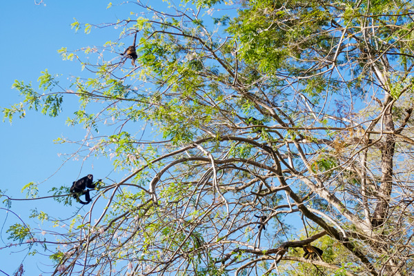 howler monkey guanacaste costa rica