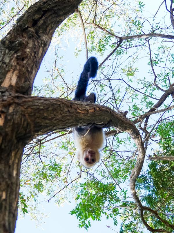 white faced monkey guanacaste costa rica